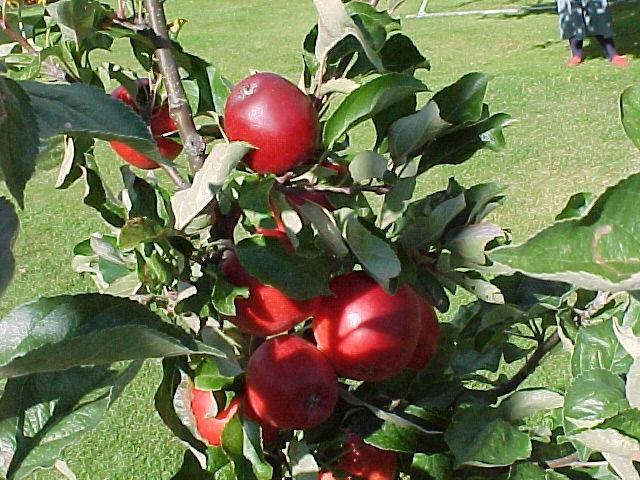 Katja äppelträd